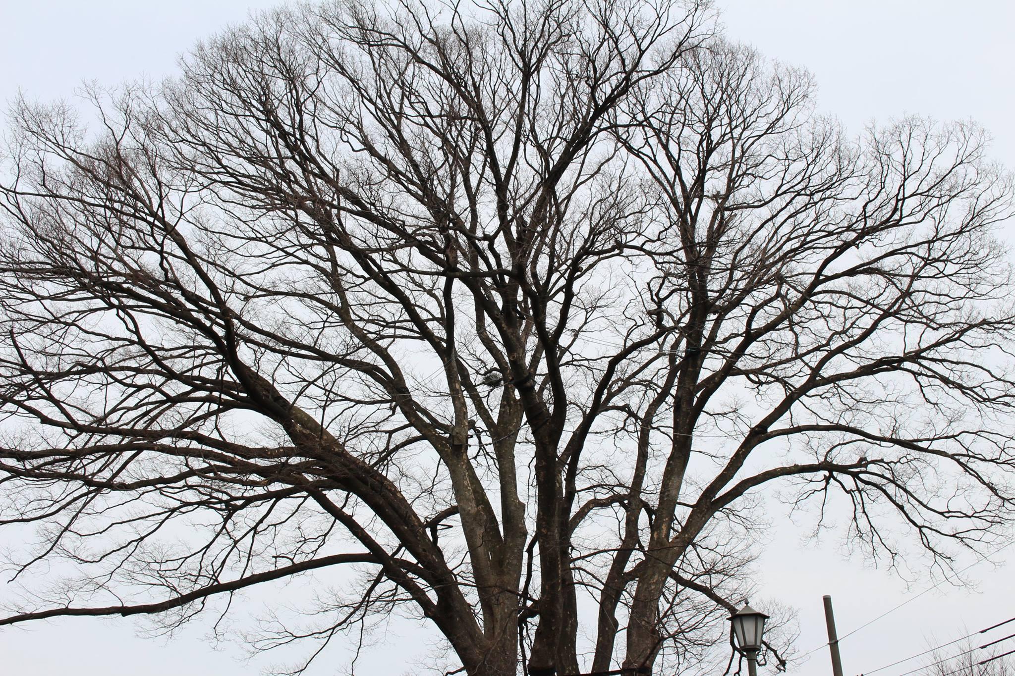 トトロの樹